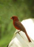 Vividly красный северный кардинал Стоковое Фото