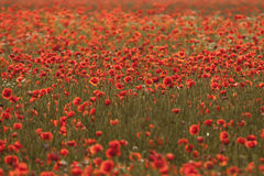 Vividly colored poppy field Stock Image