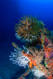 Vividly coloured feather stars Stock Images