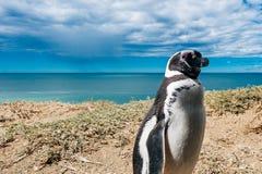 Vivienda del pingüino de Magellanic del retrato por su jerarquía en las rocas sobre la playa imagen de archivo