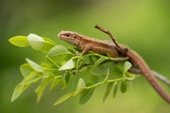The viviparous or common lizard Zootoca vivipara in Czech Republic. Wildlife photo of The viviparous or common lizard Zootoca vivipara royalty free stock photos