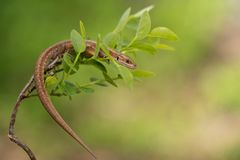 The viviparous or common lizard Zootoca vivipara in Czech Republic. Wildlife photo of The viviparous or common lizard Zootoca vivipara stock image