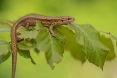 The viviparous or common lizard Zootoca vivipara in Czech Republic. Wildlife photo of The viviparous or common lizard Zootoca vivipara stock photo