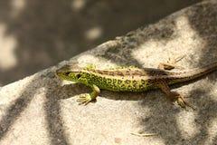 Viviparous Lizard Royalty Free Stock Photography