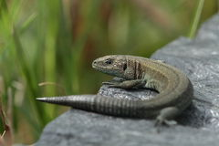 Viviparous lizard. Royalty Free Stock Photography