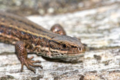 Viviparous lizard. On a rock Royalty Free Stock Images