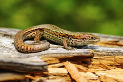 Viviparous lizard basking on stump. Viviparous lizard basking on rotten wooden stump Zootoca vivipara stock photography