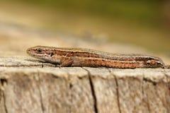 Viviparous lizard closeup Stock Photos