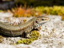 Viviparous lizard Royalty Free Stock Images