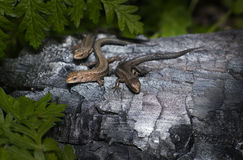 The Lizard Family Stock Images