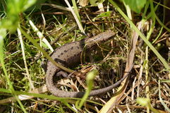 Viviparous lizard Stock Image