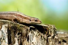Viviparous lizard (Lacerta vivipara) Stock Images