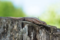 Viviparous lizard (Lacerta vivipara) Royalty Free Stock Photo