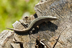 Viviparous lizard (Lacerta vivipara) Royalty Free Stock Image