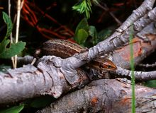 Viviparous lizard (lacerta vivipara) Royalty Free Stock Photography