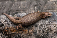 Viviparous lizard. On an old tire Stock Photography