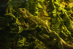 Viviparous lizard. Lizard on a tree branch Stock Image