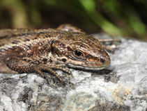 Viviparous lizard on warm stone Stock Photo