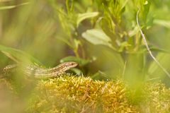 Viviparous lizard warming up in the sun Stock Photography