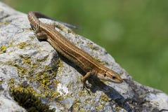 Viviparous lizard - Zootoca vivipara Royalty Free Stock Images