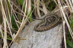 Viviparous Lizard Zootoca vivipara Stock Photos