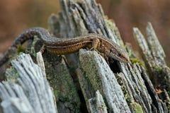 Viviparous Lizard (Zootoca Vivipara) Stock Photos
