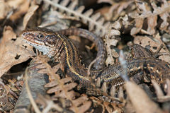 Viviparous Lizard (Zootoca Vivipara) Stock Photos