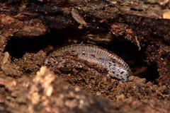 Viviparous lizard (Zootoca vivipara)  partially exposed during hibernation Stock Photo