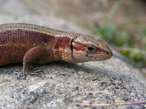 Viviparous lizard - Zootoca vivipara Royalty Free Stock Photo
