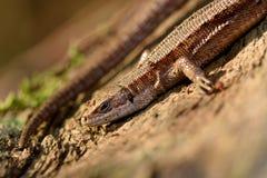 Viviparous lizard (Zootoca vivipara) Stock Photo