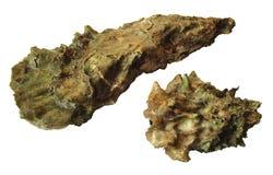 Vivo de los gigas de la Crassostrea de las ostras aislado en el fondo blanco foto de archivo