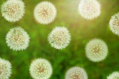 Viwe supérieur de fleur pelucheuse de pissenlit avec la lumière du soleil en été Image stock