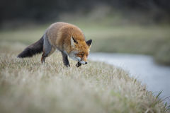 Vixen вдоль канала Стоковое Фото