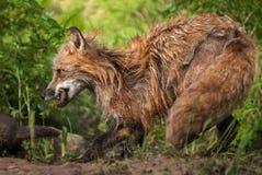 Vixen красного Fox & x28; Vulpes& x29 лисицы; Прогулки за набором Стоковое Изображение
