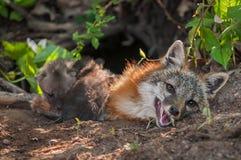 Vixen del cinereoargenteus de Grey Fox Urocyon con los equipos que suben Ove Imagenes de archivo