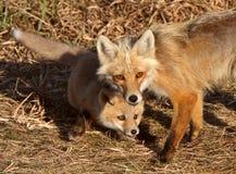 Vixen del Fox rojo con el perrito en la isla de Hecla en Manitoba Fotos de archivo