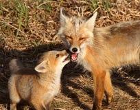 Vixen del Fox rojo con el perrito en la isla de Hecla en Manitoba Foto de archivo libre de regalías