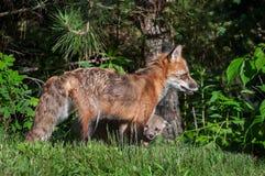 Vixen do Fox vermelho (vulpes do Vulpes) com Kit Peeking Out foto de stock