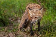 Vixen do Fox vermelho & x28; Vulpes& x29 do Vulpes; Cabeça para baixo Fotografia de Stock Royalty Free