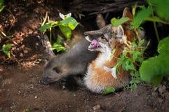 Vixen e jogo de Grey Fox (cinereoargenteus do Urocyon) no antro Imagens de Stock