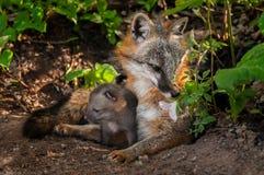Vixen Grey Foxs (Urocyon cinereoargenteus) schnüffelt Blume mit Ausrüstung Stockfotografie