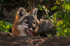 Vixen und Kit Nose Together Grey Fox-(Urocyon cinereoargenteus) Lizenzfreies Stockfoto