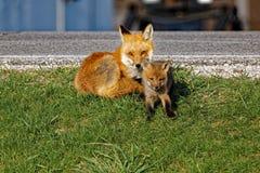 Vixen y equipo del Fox rojo Imagenes de archivo