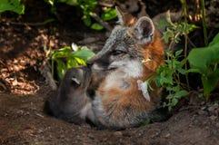 Vixen y Kit Touch Noses de Grey Fox (cinereoargenteus del Urocyon) Imágenes de archivo libres de regalías