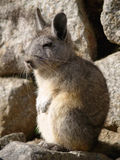 Vizcacha Royalty Free Stock Photo