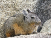 Vizcacha at machu pichu Royalty Free Stock Photo