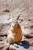 The vizcacha of the plains Lagostumus maximus in Bolivia Stock Image