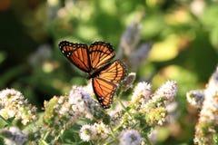 Vizekönig-Schmetterling stockfotos