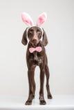 Vizsla狗当复活节兔子 免版税库存照片