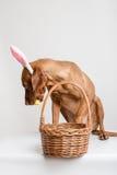 Vizsla狗当复活节兔子 免版税库存图片